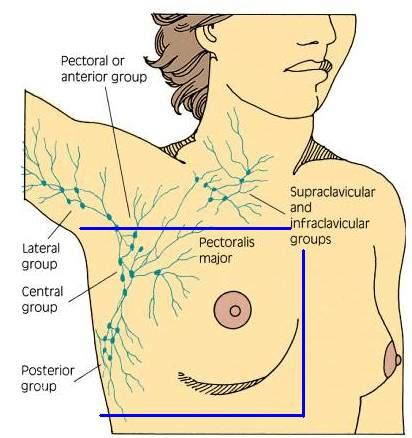 lymph nodes in breast diagram lymph nodes in breast diagram 28 images lymph node