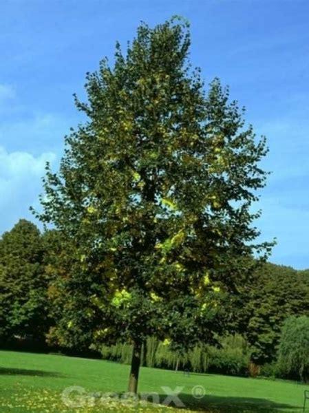 bambus pflanze pflege 3799 tilia europaea euchlora krim linde g 252 nstig kaufen
