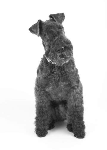 Kerry Blue Terrier   Dog Breed Info: Pictures, Traits & Facts