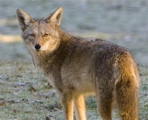 images of a coyote coyotes become a fact of in rural and areas