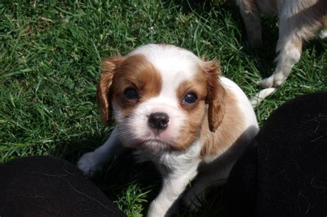 cavalier king charles spaniel puppies for adoption free dogs for adoption cavalier king charles spaniels breeds picture