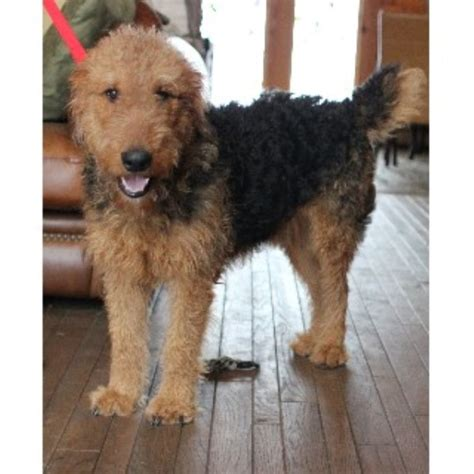 airedale puppies for sale in michigan aubert s airedales airedale terrier breeder in branch michigan listing id 22135