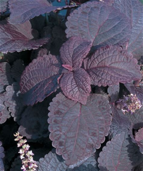 Fall Bedding Coleus Colorblaze Dark Star Wholesale Bedding Plants