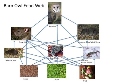 barn owl food web diagram barn owl food web and ripple effects 10nhopkinson s