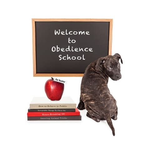puppy obedience classes is of distractions gillett vet clinic westiminster co