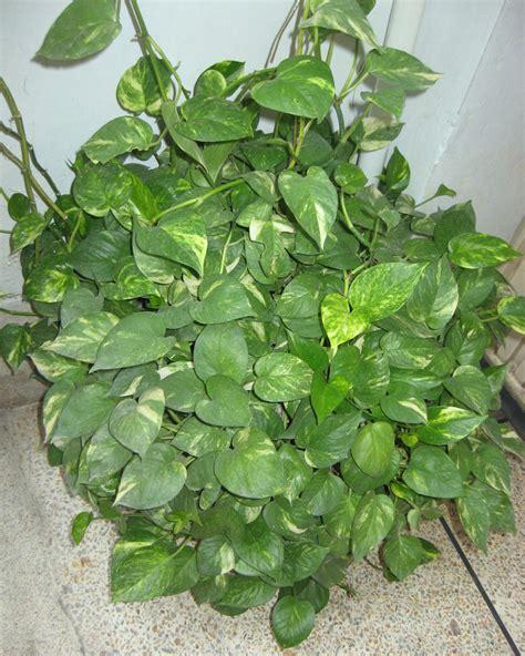 mashal e rah money plant