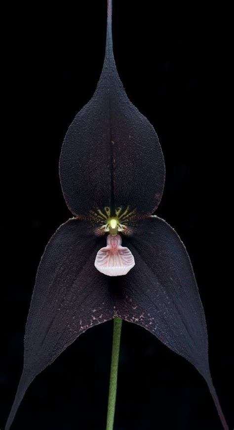 black orchid beauty will save viola beauty in everything