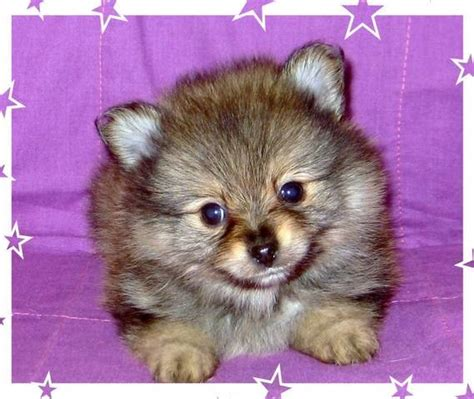 puppies for sale brandon fl quality teacup and pomeranians for sale adoption from brandon florida hillsborough