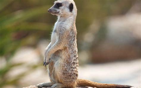 meerkat standing hd animal wallpapers pet love amazing
