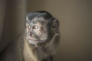 pet capuchin monkeys monkeys as pets