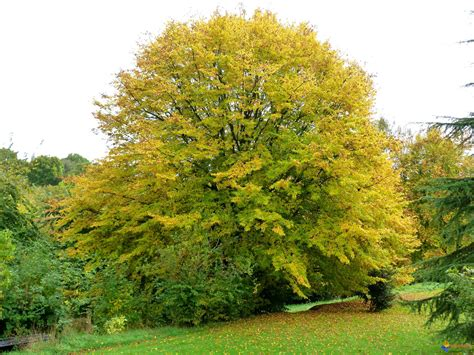 Arbre Charme Photo by Photo Le Charme Commun Carpinus Betulus