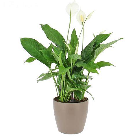 plante bureau livraison spathiphyllum en bac 224 r 233 serve d eau plante de