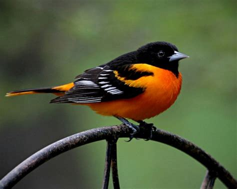 oriole adorable animals pinterest