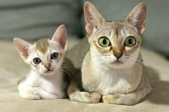 Boneka Kucing Cat 3 Colour Big Eye 9 Cat Breeds That Stay Small