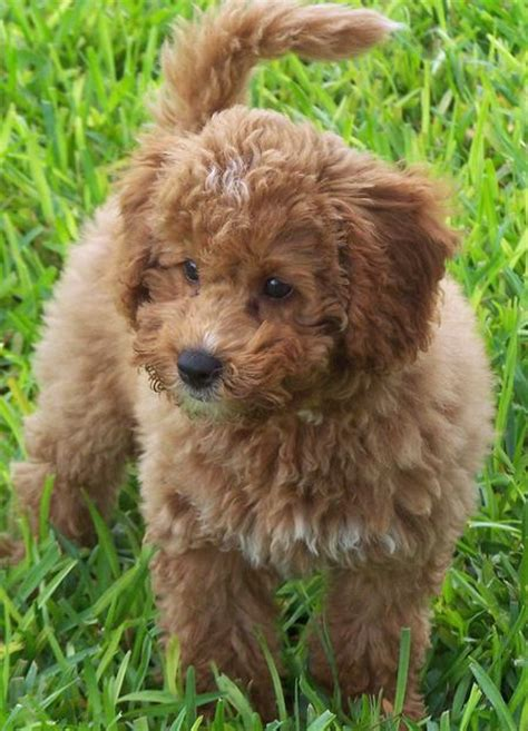 mini labradoodles tigger the miniature labradoodle puppies daily puppy