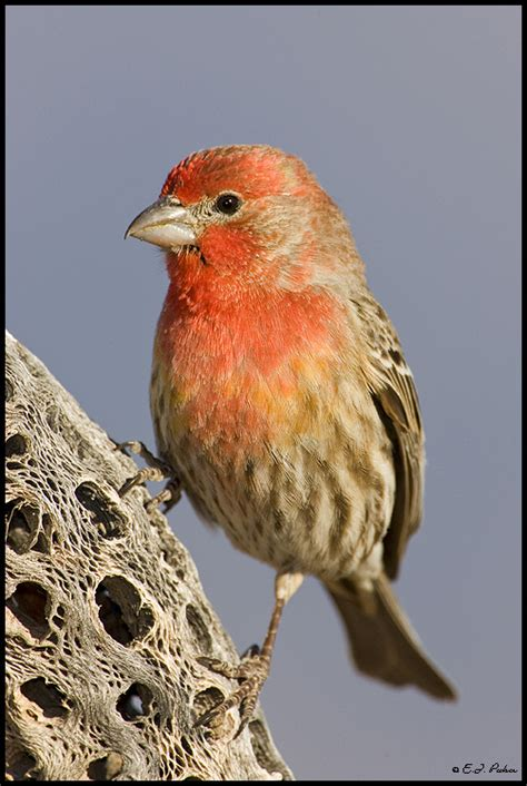 house finch arizona house finch page