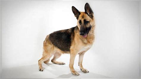 dogs 101 german shepherd german shepherd dogs 101 animal planet