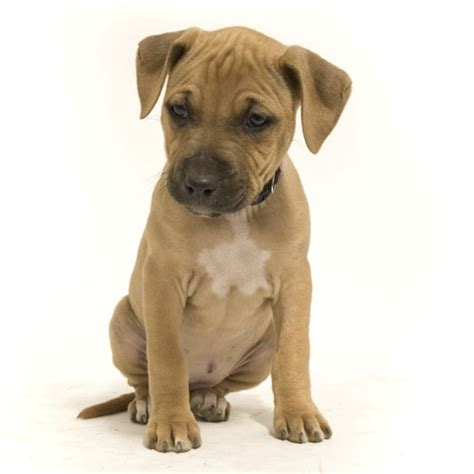 boxer pitbull mix puppy pictures pit bull boxer puppies pics webanswers pitbull litle pups