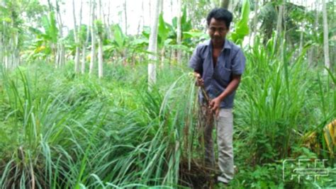 Bibit Sereh Wangi Unggul tanaman serai wangi daftar harga terbaru terlengkap
