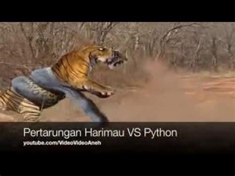 film ular vs harimau anaconda menyerang macan pertarungan nyata ular phyton vs