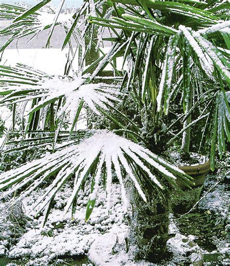 Winterharte Palmen Pflege 5797 by Winterharte K 252 Bel Palmen Sonderartikel Bei Baldur Garten