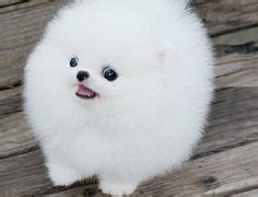 are pomeranians hypoallergenic 1000 images about pomeranian on pomeranians pomeranian puppy and small