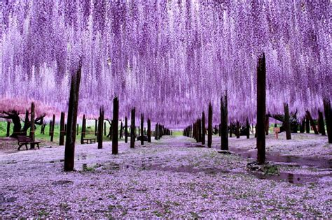 wisteria in japan wisteria trees in japan woahdude