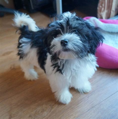 buy havanese puppies uk image gallery havanese puppies available uk
