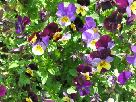 Edible Garden Flowers Notes And News From Shady Grove Gardens More On Edible Flowers