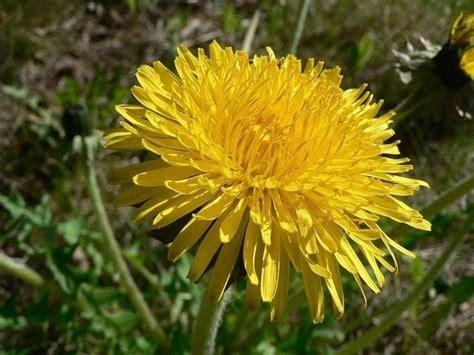 fiori gialli primaverili fiori gialli nomi piante perenni nomi dei fiori gialli