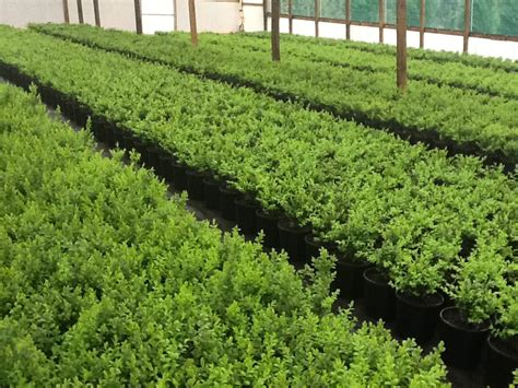 garden hedge types box leaf privet 6 quot pot hello hello plants garden supplies