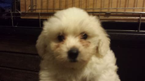 shih tzu cross poodle puppies poodle bichon frise shih tzu cross puppies ely cambridgeshire pets4homes