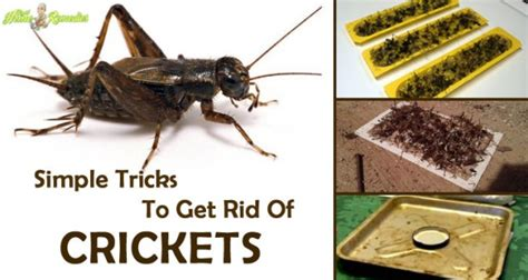 8 simple tricks to get rid of crickets from your home
