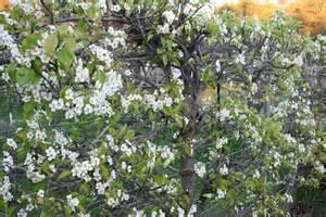 pear espalier garden celebrations