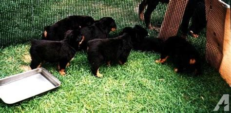 american rottweiler puppies for sale in nc rottweiler puppies puppies for sale 404 996 1502 for sale in raleigh carolina