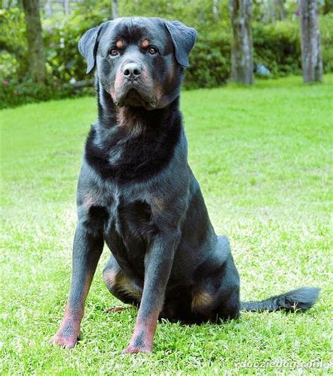 the rottweiler club rottweiler images rottweiler hd wallpaper and background photos 5652322