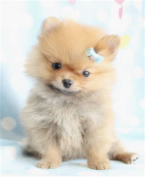 breed teacup pomeranian cutest pomeranian puppy fluffy pomeranian puppies