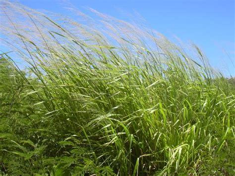 Skim Milk Australia Untuk Ternak ilmu pelajaran jenis jenis tanaman pakan ternak