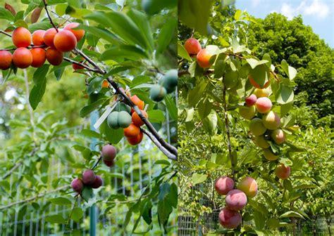 Arbre à Fruits by L Arbre Qui Produit 40 Fruits Diff 233 Rents