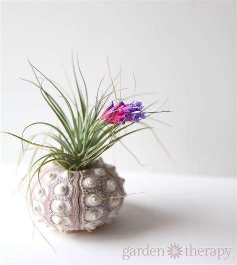 how to keep air plants alive and healthy they might even bloom garden therapy