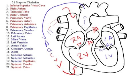 blood flow through the diagram step by step 21 steps to circulation explanation