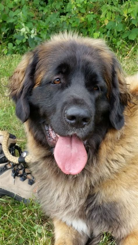 leonberger puppies available leonberger puppies cranleigh surrey pets4homes