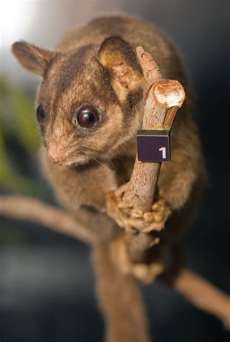 leadbeaters possum wikipedia