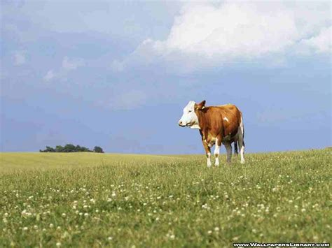 Cowhide Wallpaper Cow Wallpapers Wallpaper Cave