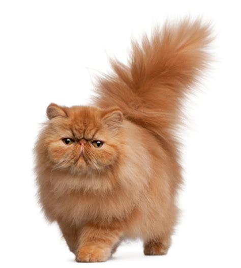 Sho Untuk Kucing Anggora sigit suyatno jadi jutawan karena hobi kucing berita