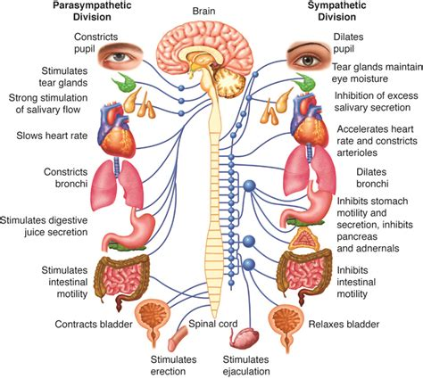 Gamis Overal Free Inner parasympathetic chiropractic