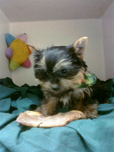 free puppies denver yorkie puppies for adoption 200 00 i baby yorkie breeds picture