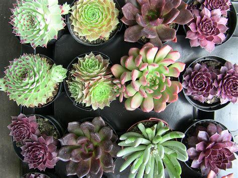 succulent plants descriptions urban succulents