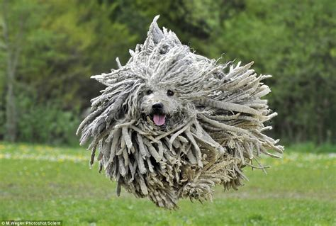 mop puppies photographer captures puli s shaggy fur flying everywhere daily mail