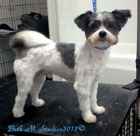 Shih Tzu Matted by Shitzy Shih Tzu After A Matted Groom Http Www